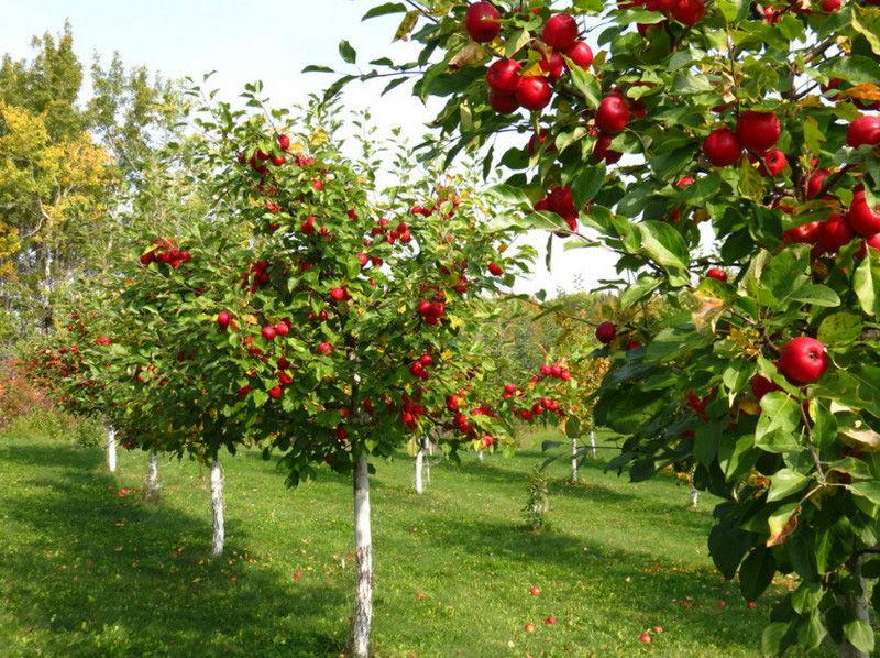 Cаженцы крупномерных плодовых деревьев